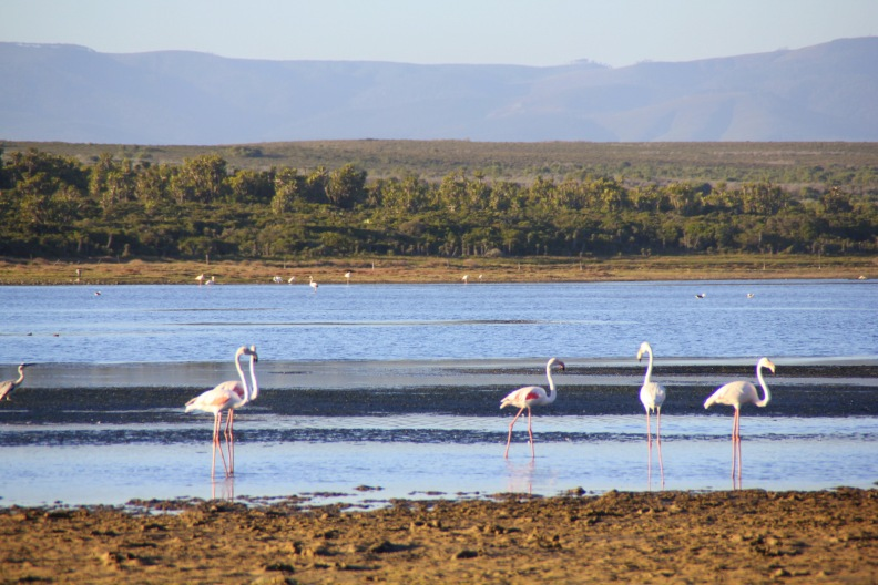 Beach Music, Jeffreys Bay, Lagoon Flamingos