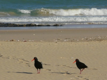 Beach Music Beachfront Guesthouse Selfcatering Jeffreys Bay South Africa Oyster Catcher